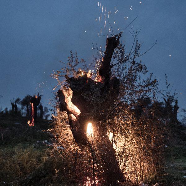 Des oliviers brûlent aux abords du camp de Moria. Au mois de février 2020, le camp accueillait plus 20.000 demandeurs d'asile et débordait sur les champs d'oliviers alentours. le 18 février 2020. Lesbos.